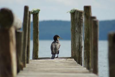 cormorant-740719_960_720